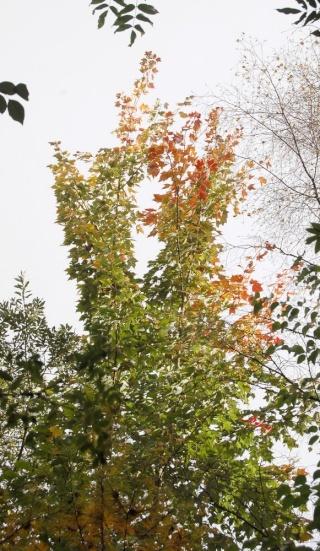 scènes d'automne - saison 2013 - Page 3 Acer_r11