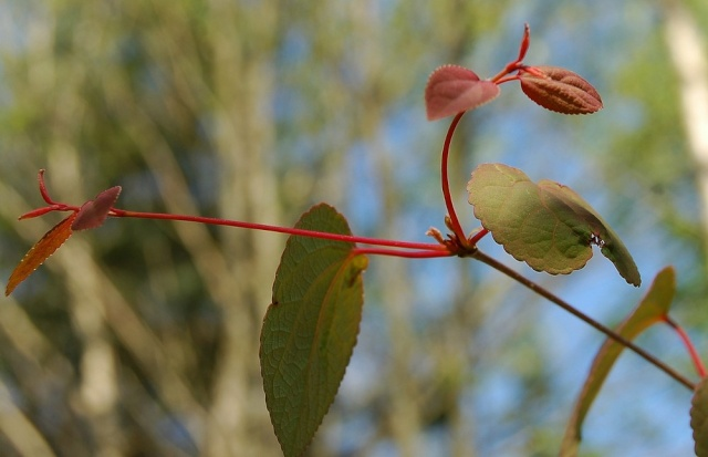 Cercidiphyllum japonicum Cercid13