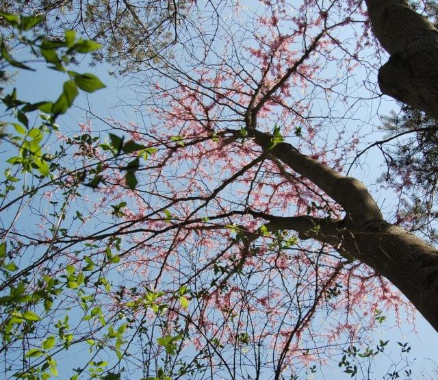 Cercis siliquastrum - arbre de Judée  - Page 2 Cercis12