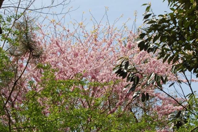 Cercis siliquastrum - arbre de Judée  - Page 2 Cercis13