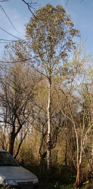 Quercus ilex - chêne vert Chene_10