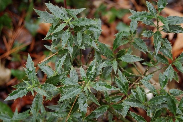 Ilex aquifolium - houx commun  - Page 2 Dsc_0028