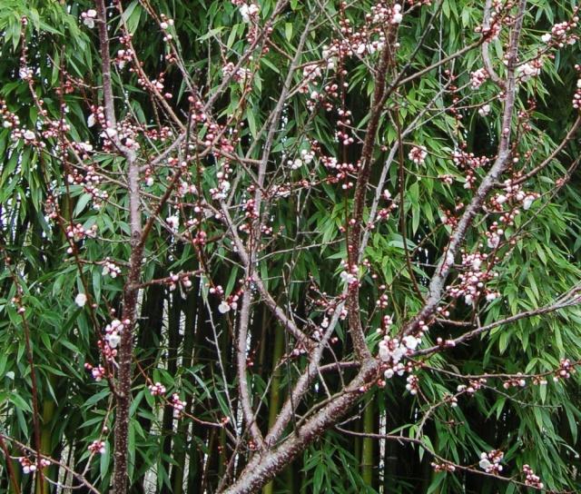 Prunus armeniaca - abricotier Dsc_0031