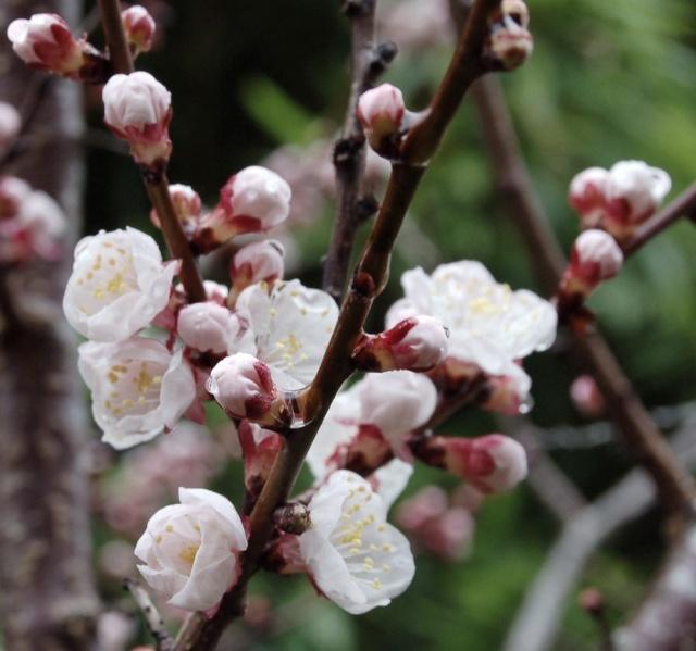 Prunus armeniaca - abricotier Dsc_0032