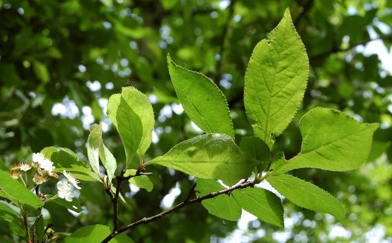 Photinia villosa ? [identification à suivre] Dsc_0034