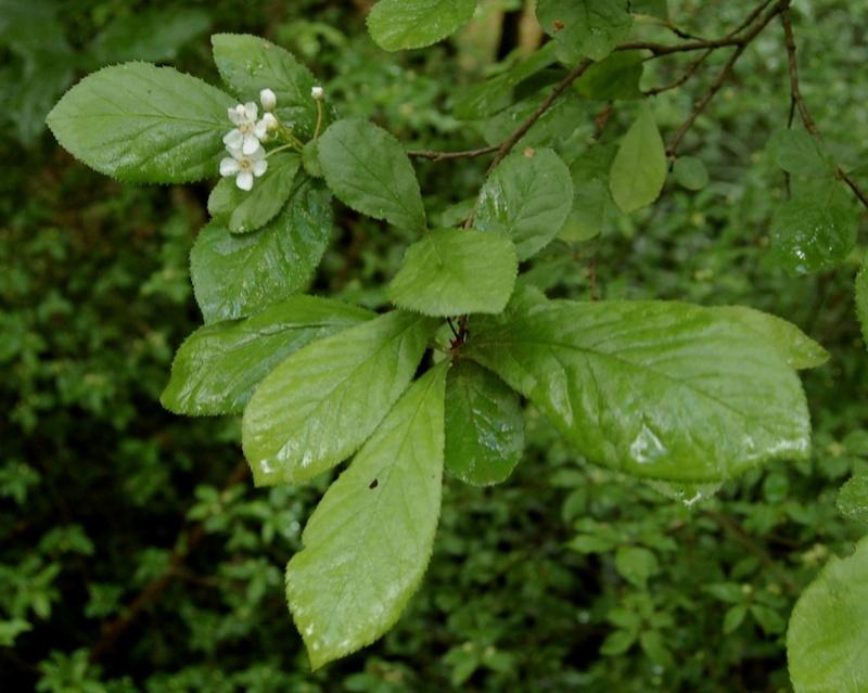 Photinia villosa ? [identification à suivre] Dsc_0035