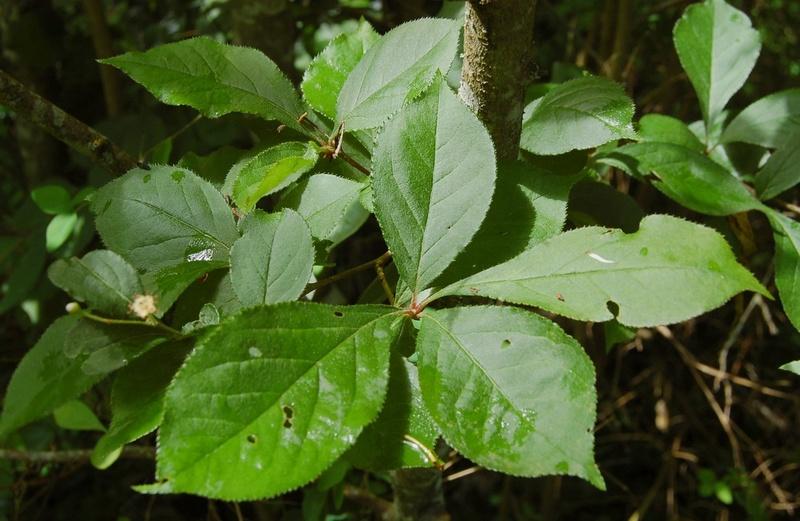 Photinia villosa ? [identification à suivre] Dsc_0036