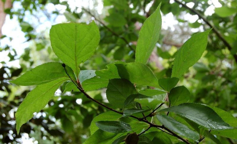 Photinia villosa ? [identification à suivre] Dsc_0037