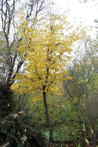 Parrotia persica - arbre de fer Parrot10