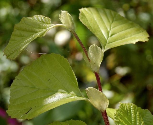 Parrotia persica - arbre de fer Parrot11