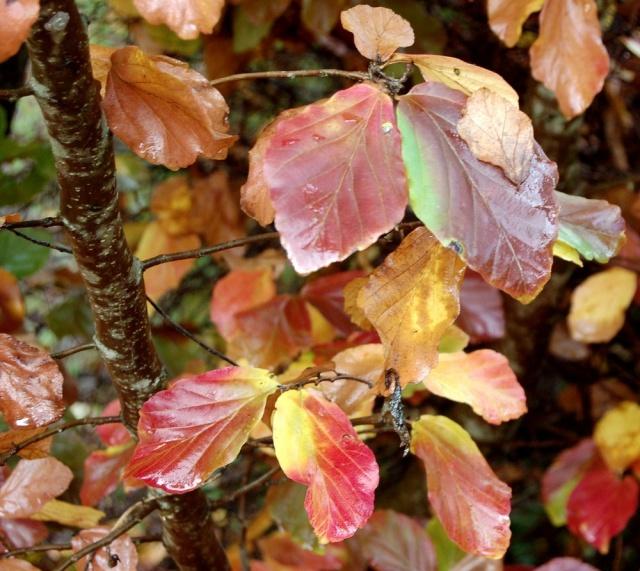 Parrotia persica - arbre de fer Parrot12