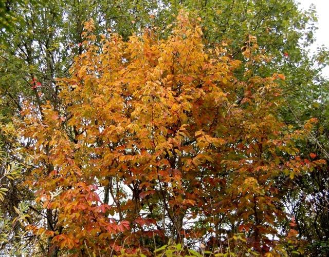 Parrotia persica - arbre de fer Parrot13