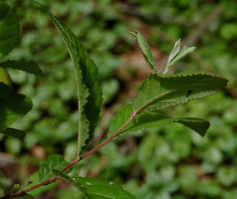 Photinia villosa ? [identification à suivre] Photin10