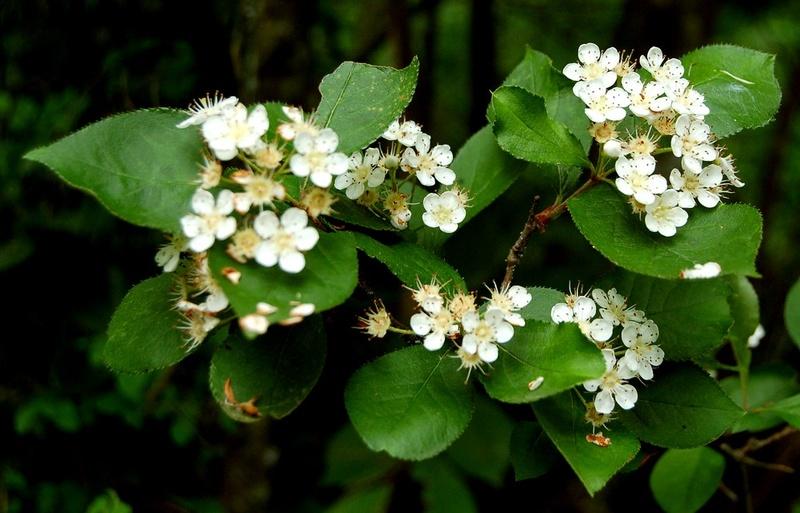 Photinia villosa ? [identification à suivre] Photin12