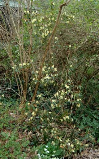 Rhododendron - espèces, variétés, floraisons Rhodod10