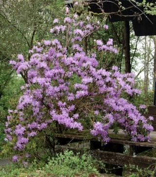Rhododendron - espèces, variétés, floraisons Rhodod11