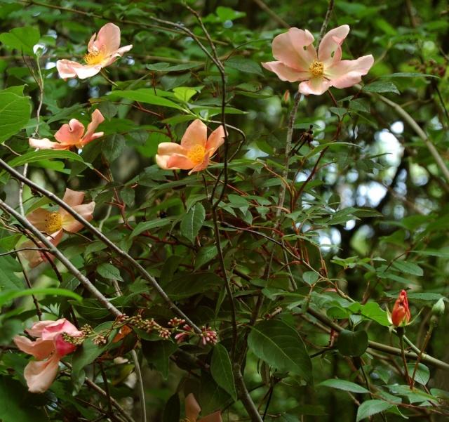 Rosa chinensis mutabilis Rosa_o10