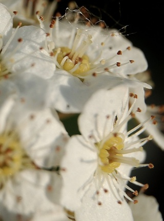 Spiraea x vanhouttei (cantoniensis x trilobata) Spirae12