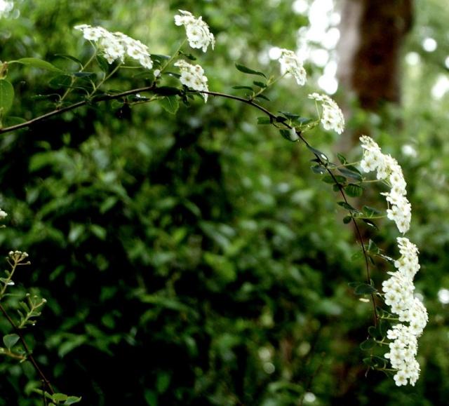 Spiraea x vanhouttei (cantoniensis x trilobata) Spirae15