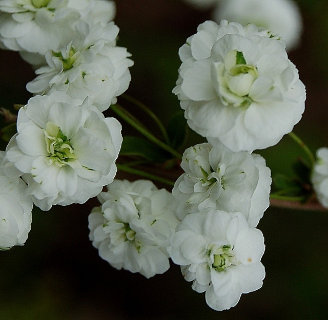 Spiraea prunifolia  Spirae17