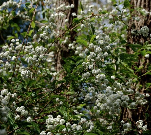 Spiraea prunifolia  Spirae18
