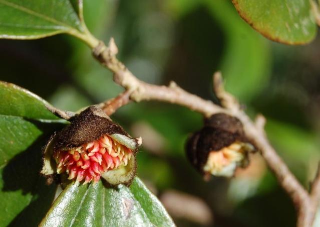 Parrotia persica - arbre de fer Sycopa10