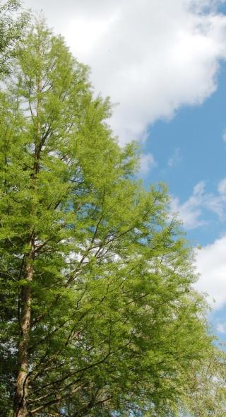 Taxodium distichum - cyprès chauve, cyprès de Louisiane  Taxodi14