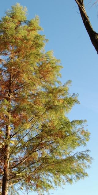 Taxodium distichum - cyprès chauve, cyprès de Louisiane  Taxodi15