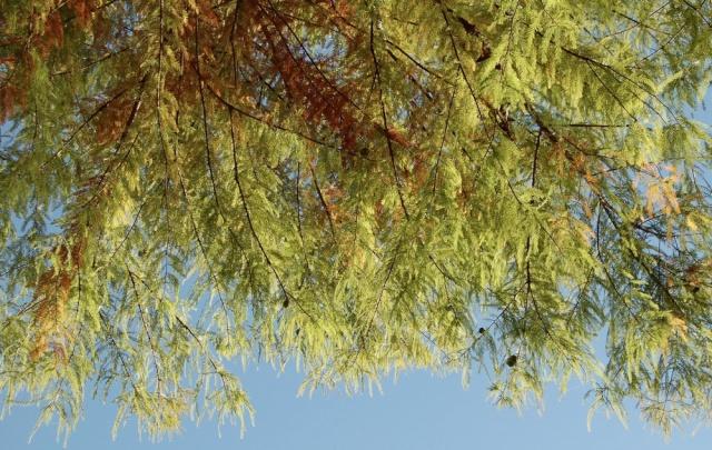 Taxodium distichum - cyprès chauve, cyprès de Louisiane  Taxodi16