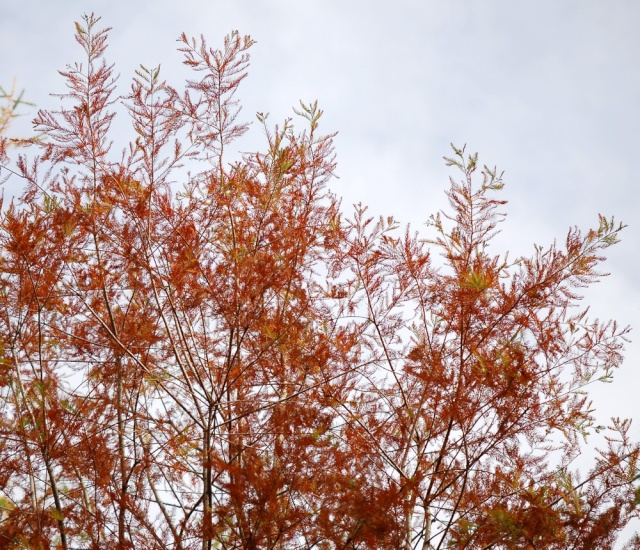 Taxodium distichum - cyprès chauve, cyprès de Louisiane  Taxodi17