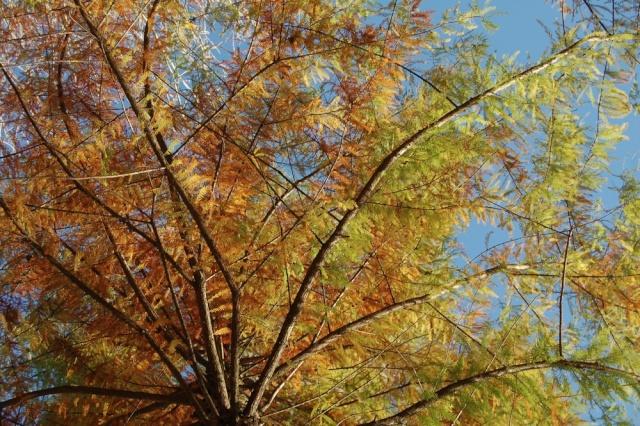 Taxodium distichum - cyprès chauve, cyprès de Louisiane  Taxodi18