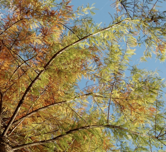Taxodium distichum - cyprès chauve, cyprès de Louisiane  Taxodi19
