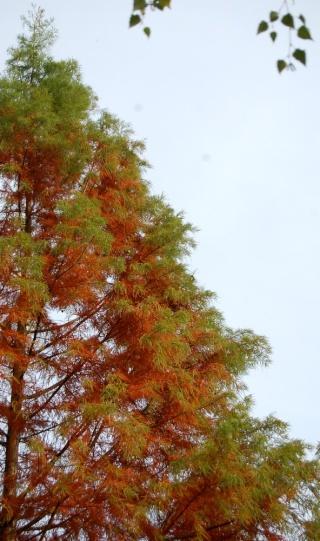 Taxodium distichum - cyprès chauve, cyprès de Louisiane  Taxodi22