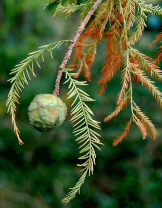 Taxodium distichum - cyprès chauve, cyprès de Louisiane  Taxodi23