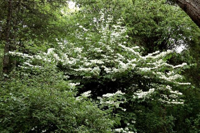 Viburnum plicatum Viburn10