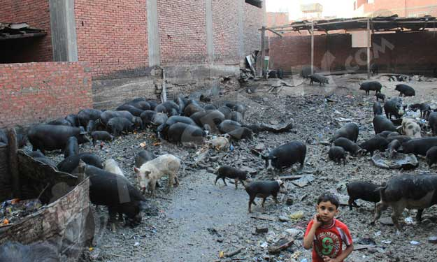 مزارع خفيه للخنازير بالقاهره  رغم حظرها منذ 5 سنوات؟ Big-1010