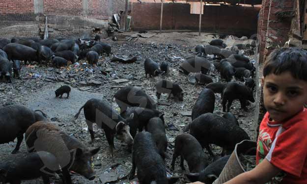 مزارع خفيه للخنازير بالقاهره  رغم حظرها منذ 5 سنوات؟ Big-1_11