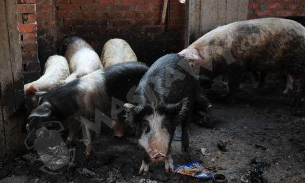 مزارع خفيه للخنازير بالقاهره  رغم حظرها منذ 5 سنوات؟ Big-7_11