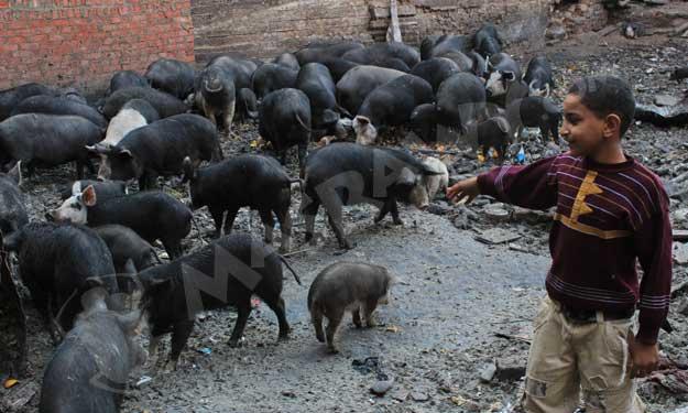 مزارع خفيه للخنازير بالقاهره  رغم حظرها منذ 5 سنوات؟ Big-9_11