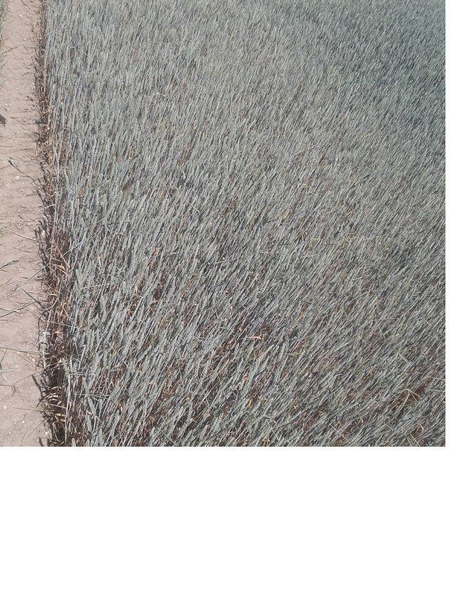 suivi des blés tendre 2017 - Page 5 Sans_t13