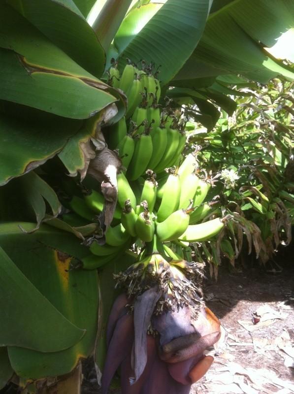 Bananas and Skunk Weed Banana10