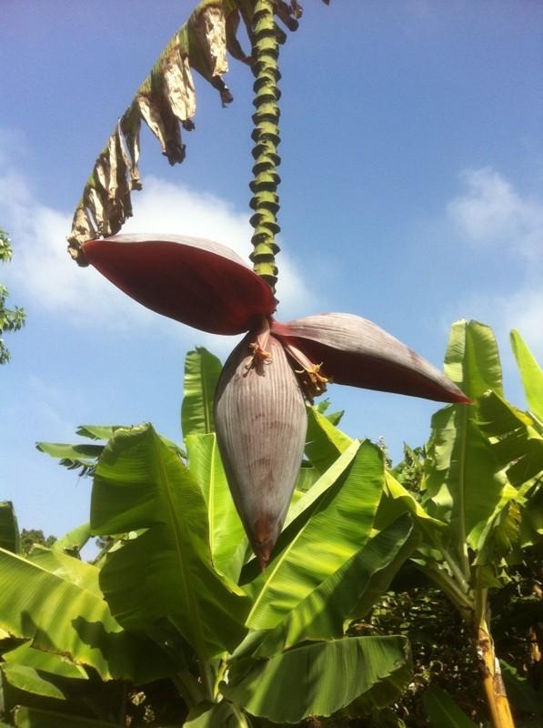 Bananas and Skunk Weed Banana11