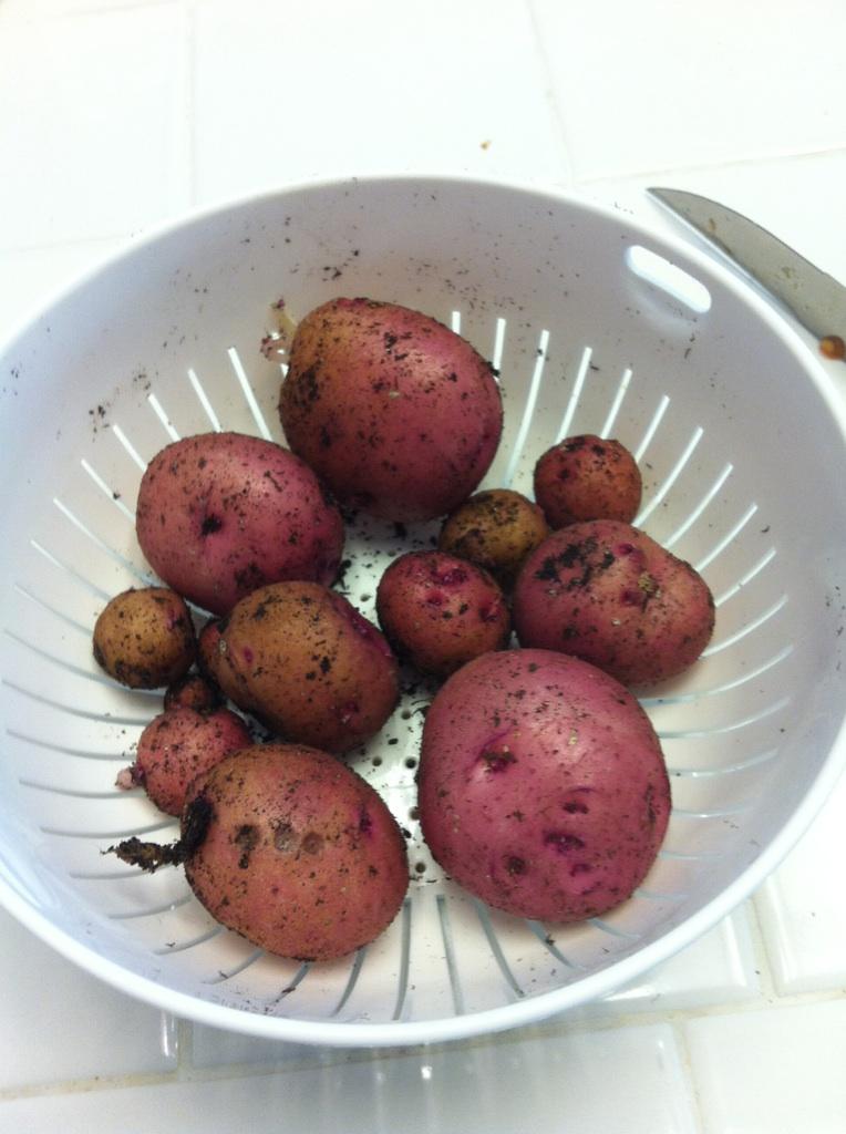 Red potatoes in 5 gallon bucket Potato14
