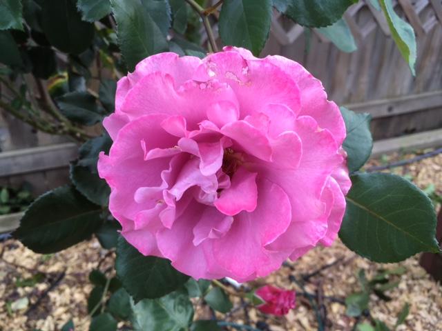 Roses Rose_p11
