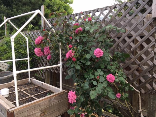 Roses Rose_p12