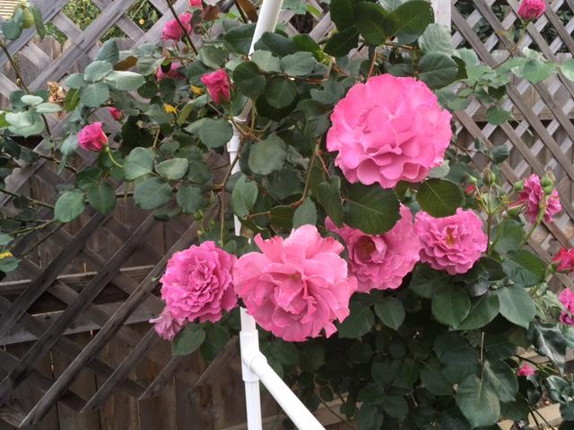 Roses Rose_p13