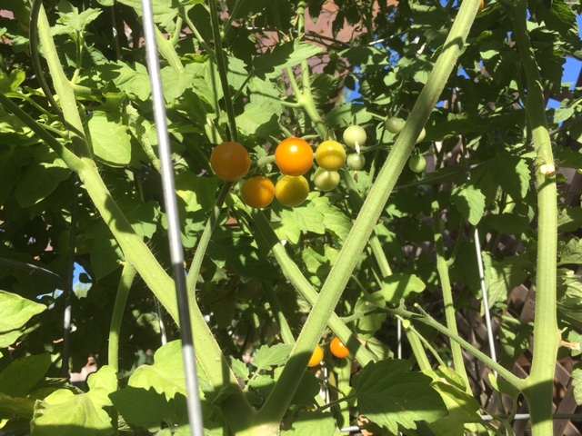 Northern California & Coastal Valleys - What are you doing this month? - Page 3 Tomato23