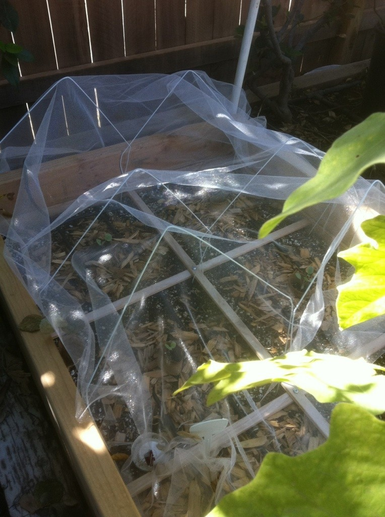Central California: Just planted my winter garden starts yesterday Tulle_12