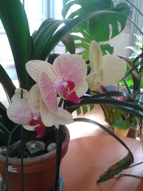 Phalaenopsis hybrides 2016-010