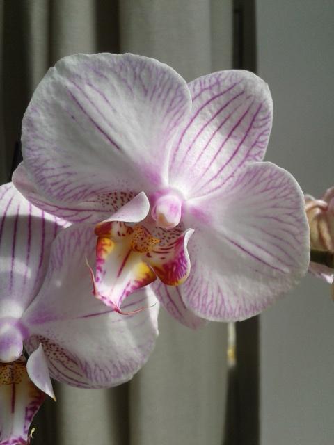 Phalaenopsis hybrides 2016-011